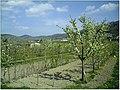 Kirschblüte - panoramio (29).jpg