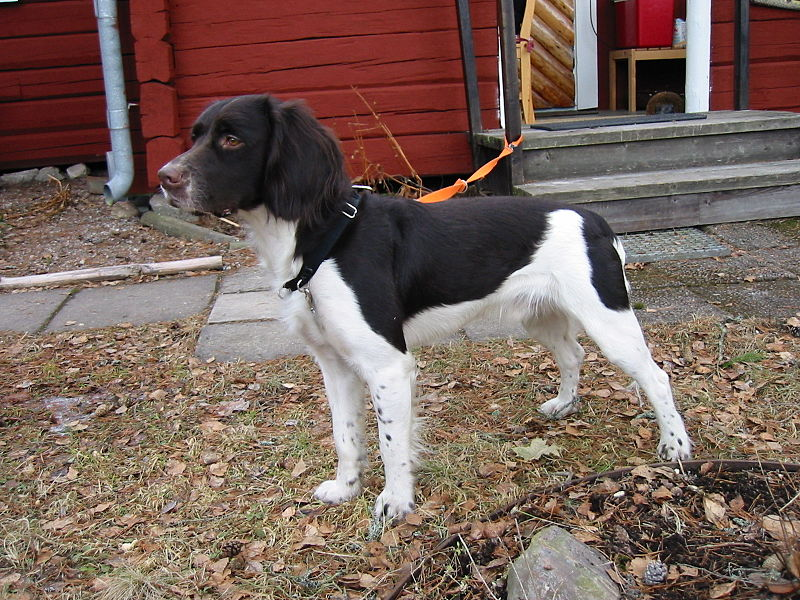 File:Kleiner Münsterländer, 2 years old.jpg