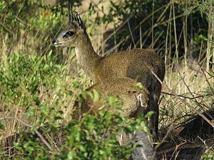 Klipspringer - Klipspringers demonstrating typical lookout (rear) and feeding (front) pair behaviour
