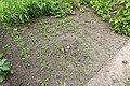 Kluse - Lepidium meyenii - Maca 01 ies.jpg