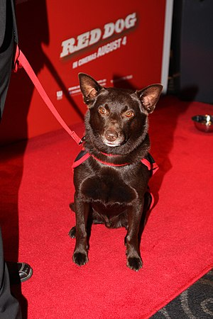 Koko (dog) - Koko at the premiere of Red Dog