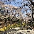 Korean Cherry Blossom.jpg