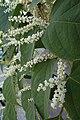 Korina 2014-09-09 Fallopia japonica 7.jpg