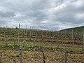 Kosmaj vineyard 2.jpg