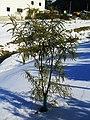 Kowhai-in-Snow.jpg