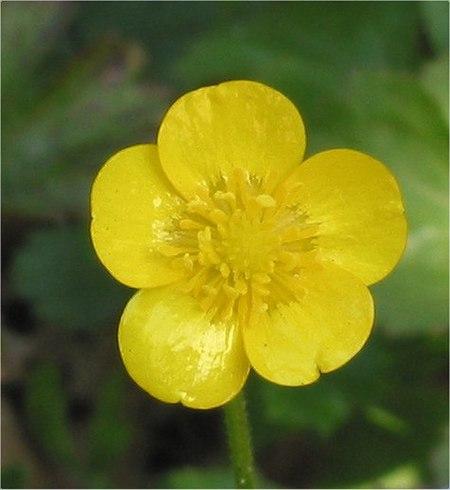 Buttercup Flower Flower
