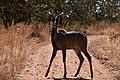 Kudu, Ruaha National Park (14) (29023041055).jpg