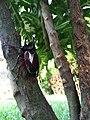 Kumbang tanduk.jpg