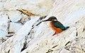 Kungsfiskare Common Kingfisher (15582775049).jpg
