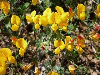 <i>Lotus</i> (genus) genus of plants