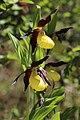 Lady's-Slipper Orchid - Cypripedium calceolus (14041471177).jpg