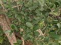 Lagerstroemia parvifolia 02.JPG