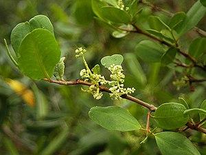 Laguncularia racemosa - Laguncularia racemosa, at Caeté estuary, Bragança, Pará, Brazil