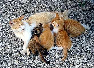 Kitten - A litter of kittens being suckled by their mother