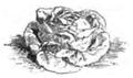 Laitue blonde d'été Vilmorin-Andrieux 1883.png