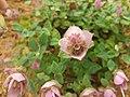 Lamiales - Origanum amanum - 2.jpg
