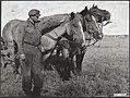 Landbouw, paarden, Bestanddeelnr 035-1023.jpg