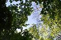 Landschaftsschutzgebiet Gütersloh - Isselhorst - Wald an der Lutter - Blick nach oben (12).jpg