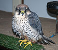 Lanner Falcon (3263336869).jpg