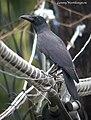 Large-billed Crow Corvus macrorhynchus philippensis (16521980341).jpg