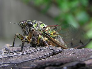 Amphipsalta zelandica - A chorus cicada, Amphipsalta zelandica