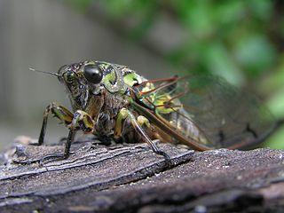<i>Amphipsalta zelandica</i> species of insect