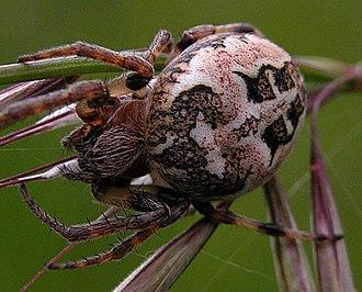 Svenska Spindlar - Araneus cornutus