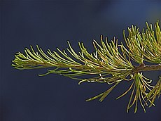 Larix occidentalis shoot tip.jpg