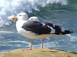 Larus occidentalis by Jon Sullivan.jpg