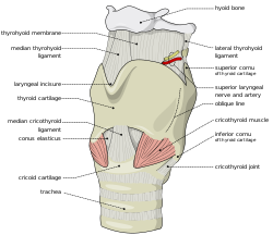 Larynx external en.svg