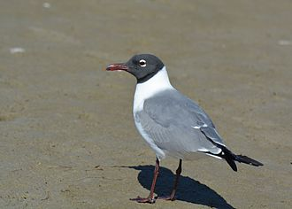 Laughing gull - Image: Laughing Gull mating plumage