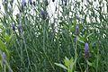 Lavandula angustifolia 4 2017-05-14.jpg