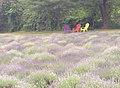 Lavender farm 0.jpg