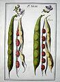 LeBerryais Haricots planche 43.jpg