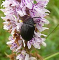 Leaf Beetle. Galeruca tanaceti. on Dactylorhiza maculata or Heath Spotted Orchid. - Flickr - gailhampshire.jpg