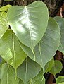 Leaf shape 01.jpg