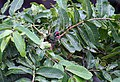 Leaves with bathing Coppersmith Barbet I IMG 4465.jpg