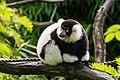 Lemur (24169351598).jpg