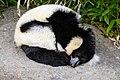Lemur (26619019637).jpg