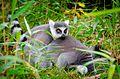 Lemur (30931053414).jpg
