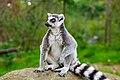 Lemur (36475861654).jpg