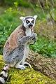 Lemur (36559505891).jpg