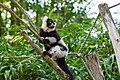 Lemur (36678764242).jpg
