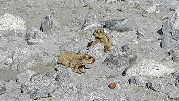 Lemur in Leh ladakh 9.jpg