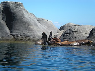 Bahía de Loreto National Park - Sea Lions (Zalophus californianus) on the Isle of Coronado