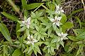 Leontopodium japonicum 05.jpg