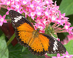 LeopardLacewing15.jpg