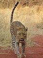 Leopard (37072881003).jpg