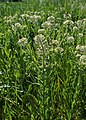 Lepidium campestre kz02.jpg
