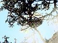 Leptasthenura xenothorax Peru.jpg